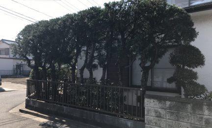 カイヅカイブキ生垣の剪定