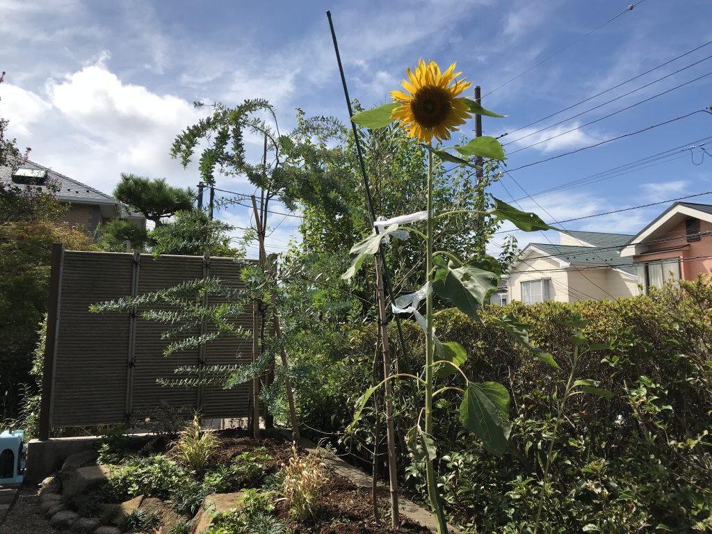 リフォーム花壇、夏の終わりに向日葵咲く