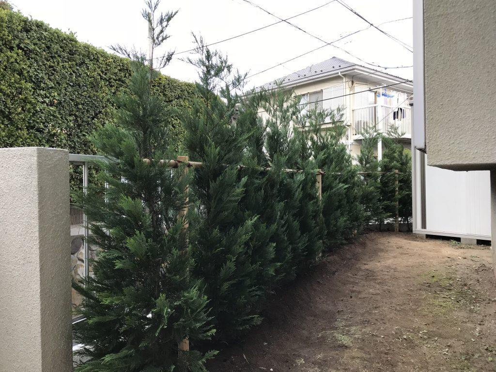 鎌倉市 生垣植栽 レイランドヒノキ1.5m