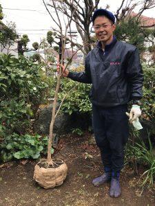 横浜市戸塚区 記念の樹木移植(堀り上げ)