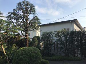 藤沢市鵠沼/歴史ある別荘の庭木剪定