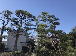 茅ケ崎市 高木の黒松剪定を二人体制で!