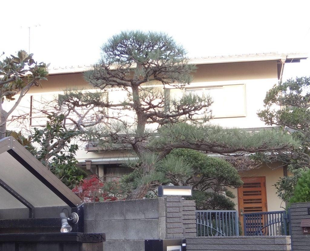茅ケ崎市(湘南)玄関前の黒松剪定で家が映えます