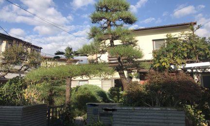 横浜市 泉区 近所の同業者さんから引き継いだ黒松2年目の手入れ