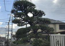 横浜市泉区 中田の植木屋さんから引き継いだお客様邸宅の黒松手入れ