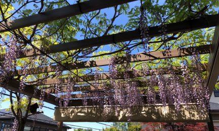横浜市金沢区 5年前は苗木だった藤も棚を覆ってたくさんの花をつけてくれるようになりました!