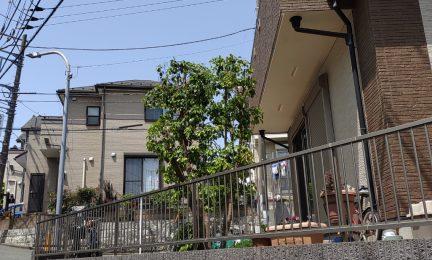 10年前に植えたヤマボウシ、成長し過ぎたので剪定してください(横浜市泉区)