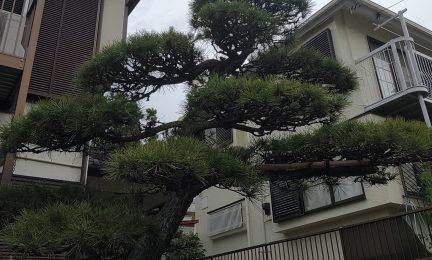 横浜市泉区 20年間、庭を管理してくれた植木屋さんがリタイア。良い人を紹介して頂けて助かった!