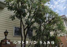 横浜市泉区 今年もシマトネリコ剪定時期!よろしくお願いします。